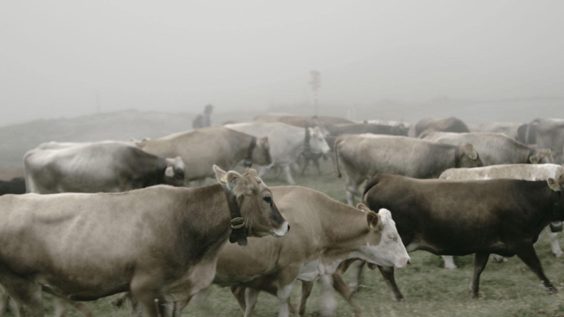 Vieh wird über die Alp getrieben